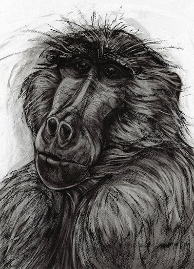 """baboon head study"" Giclée Print - by Kendra Haste - UK"