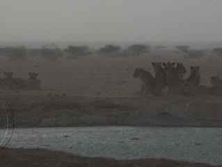 lion encounter at nxai-pan