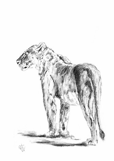 """""""lioness#3"""" - original charcoal sketch"""