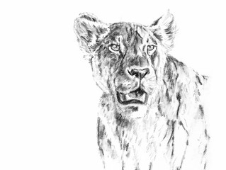 new lion drawings