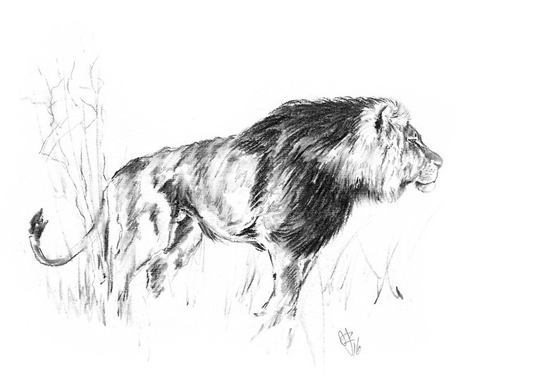 """lion#3"" - original charcoal sketch"