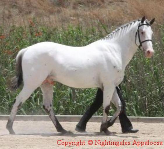Sire Lulus Tiger Eye: Nightingales San Domingo