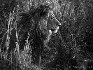 lions of the Busanga Plains, Zambia