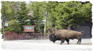 Wildlife Visiting Yellowstone Wildlife Cabins!