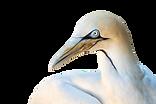 cape-gannet-3641978_640.png