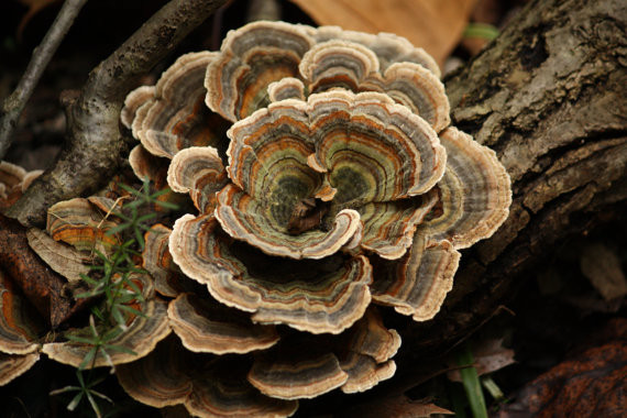 Medicinal Mushrooms for HPV and Cervical Dysplasia