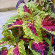 commoncoleus.jpg