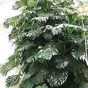 treephilodrendrom.jpg