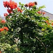 africantuliptree.jpg