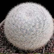 snowballcactus.jpg