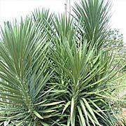 giant yucca.jpg