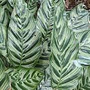 peacockplant.jpg