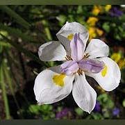 fortnight lily.jpg