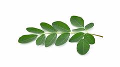 moringa-leaf-small-edit.webp