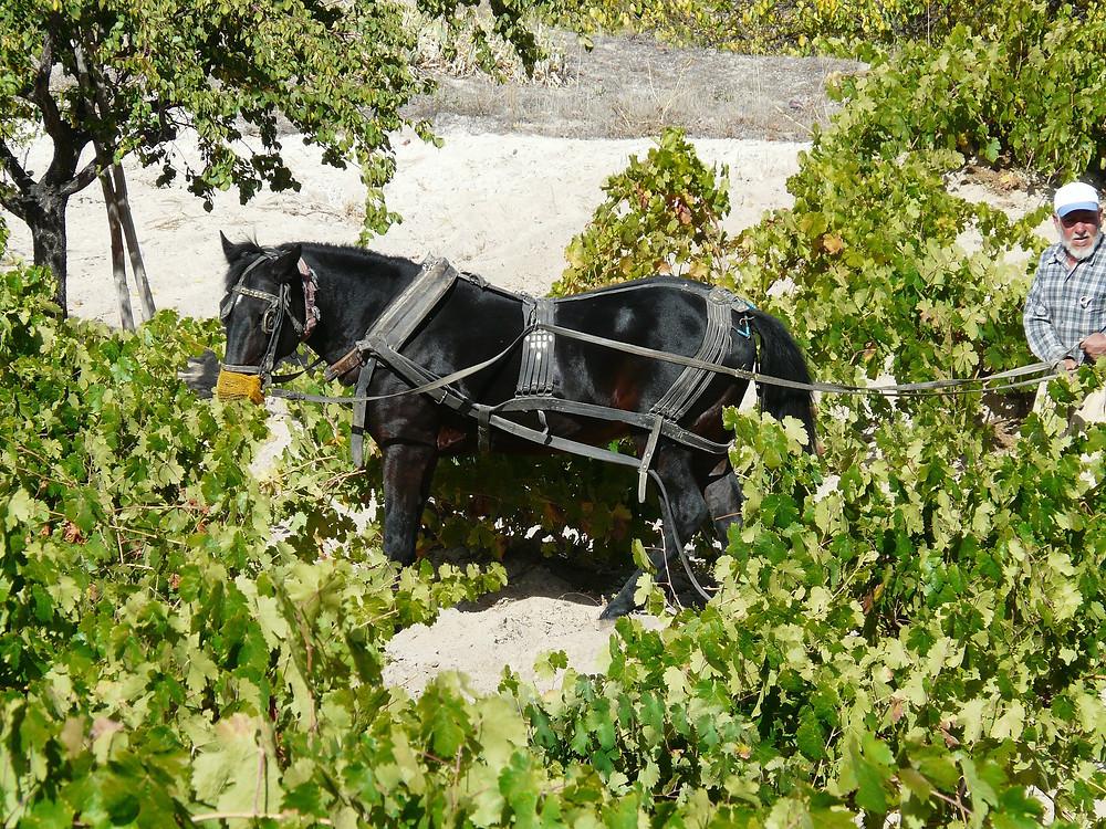 bio-labour-vigne-cheval.jpeg