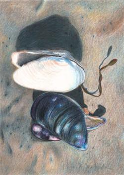 Maine Shells #3 | $100