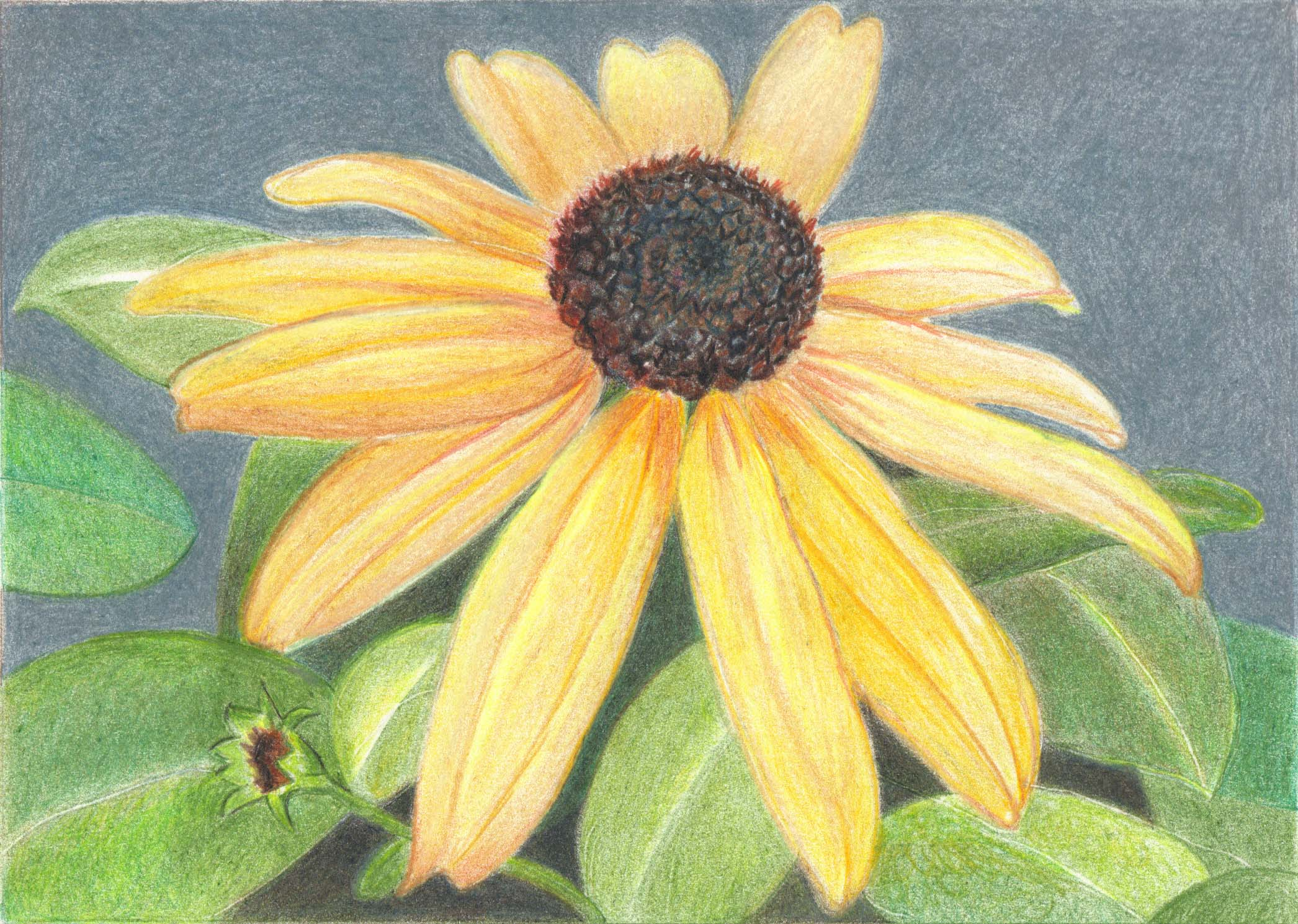 Black-eyed Susan | $100