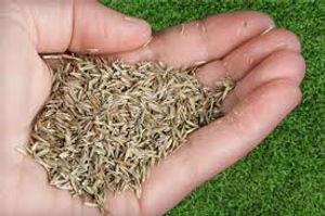 turf seed.jpeg