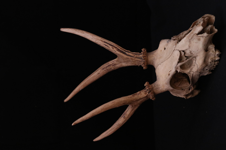 Astas de huemul y cráneo
