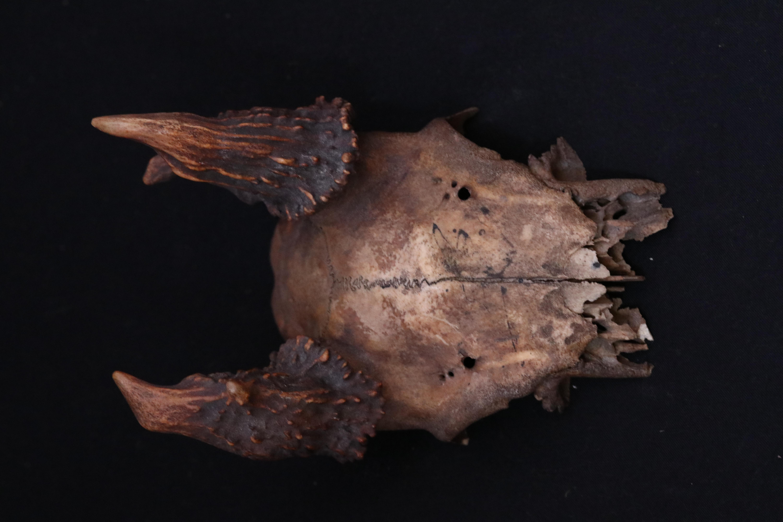 Asta de huemul y cráneo