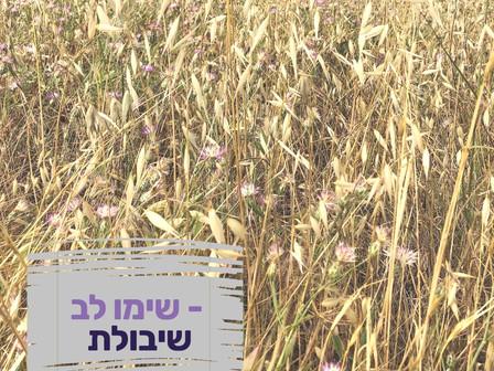 מלען שיבולת השדה