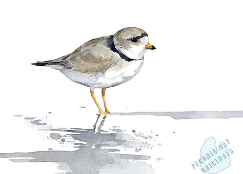 H18 Piping Plover