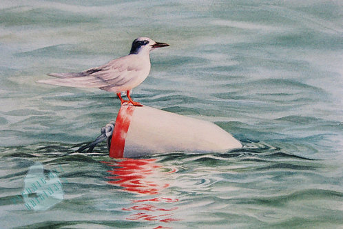 E03 Hilton Head Tern