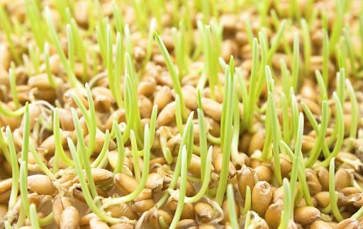 проросшие зерна злаковых