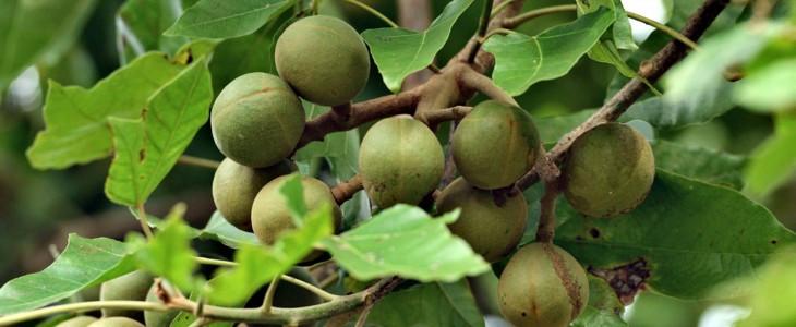 орех дерева кукуй
