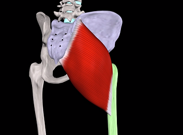 Image of the gluteus maximus muscle and its attachements at the pelvis and femur