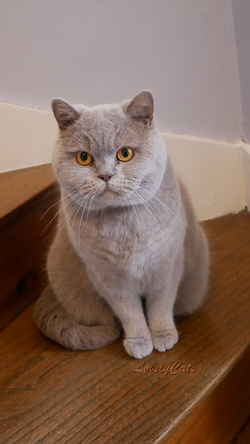 Maya, British Shorthair de 4 ans