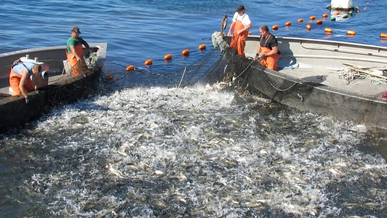 Lobster bait for Local Rhode Island Lobstermen-Pogies fresh or salted.