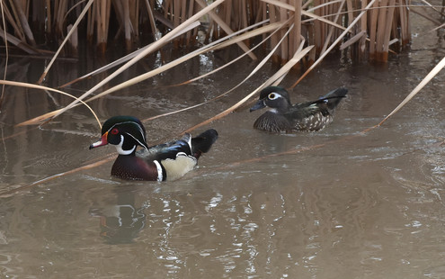 Wood Ducks on the Verde River