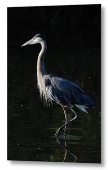 Great Blue Heron, Metal Print