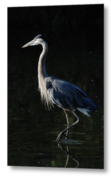 Great Blue Heron, Metal Print