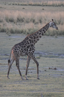 Giraffe on the Chobe River Floodplain