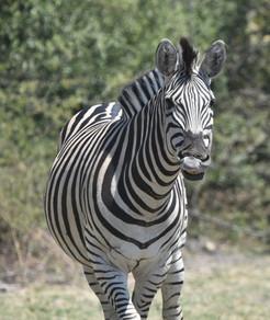 A Curious Zebra