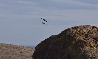 Ravens in Flight