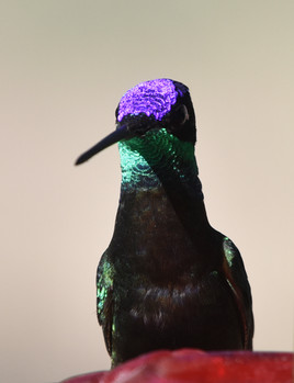 Rivoli Hummingbird