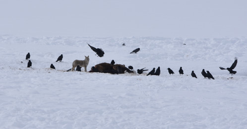 Coyote and Ravens Mob a Bison Carcass in the Lamar Valley