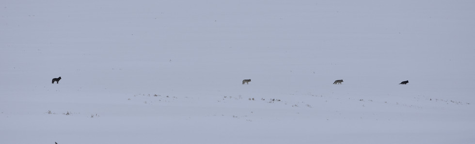 Wolves on the Move in the Lamar Valley