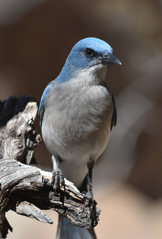 Mexican Jay in the Chisos