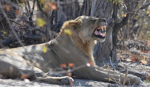Lion's Yawn