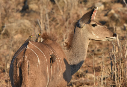 Kudu with Yellow-billed Oxpeckers