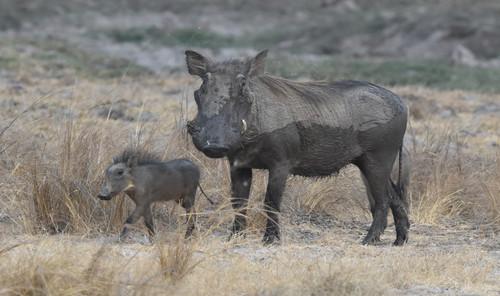 Warthog With Piglet