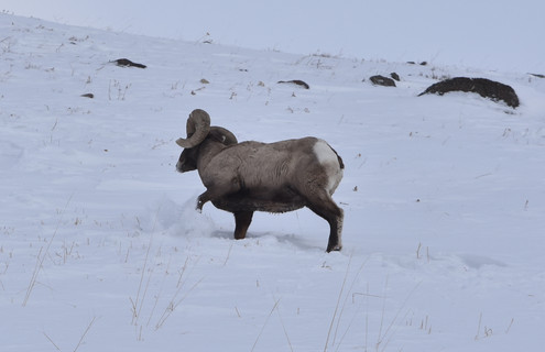 Bighorn Pawing the Snow to Find Food