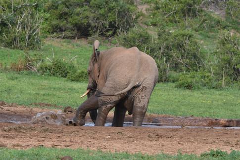 Addo Elephant Mud Bath