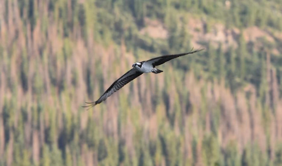 Osprey over Molas Lake