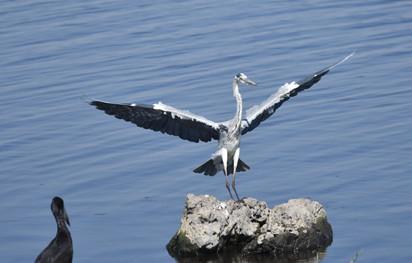 Heron Landing 03