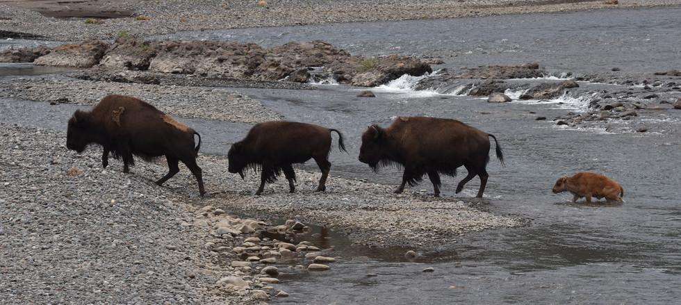 Bison crossing in Lamar Valley